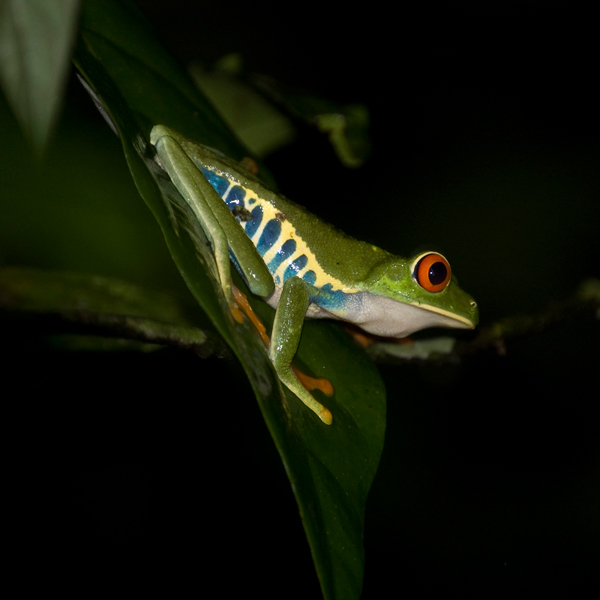 Red Eye Frog on rain forest night tour