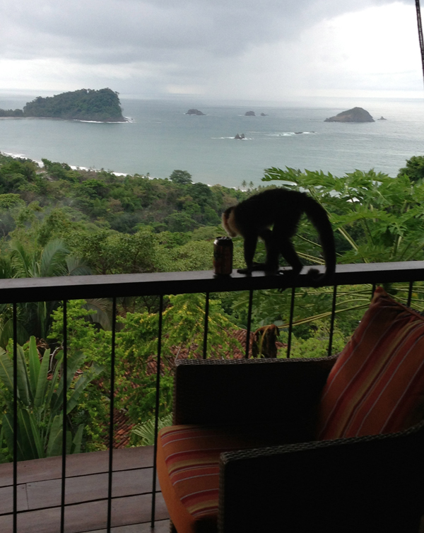 Monkey stealing beer in Costa Rica
